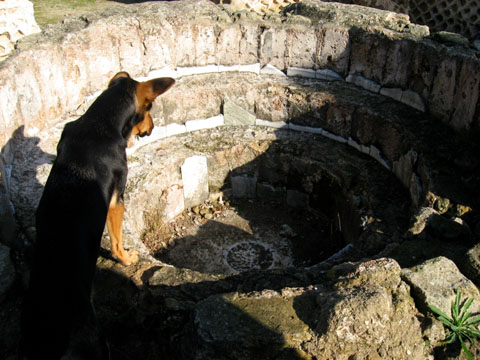 Cumae: A stray dog examining a Christian baptismal font added to the much older Temple of Jupiter