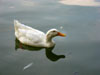 Rome: A duck on the lake surrounding the Temple of Asclepius