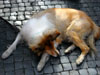 Rome: A sleeping dog in the Piazza Navona