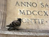 Rome: A pigeon on the fountain