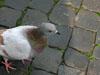Rome: A pigeon in the Piazza Navona