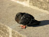 Rome: A pigeon sleeping in the sun