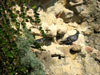Cumae: Pigeons resting on a ledge where the tufa (a soft volcanic rock) had eroded away